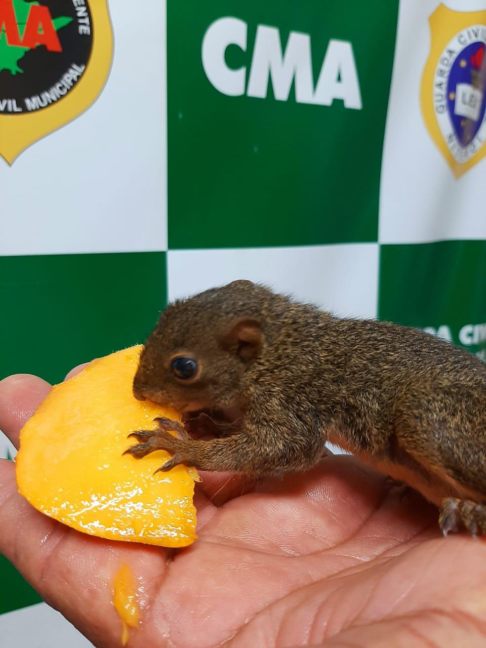 Filhote de esquilo é entregue à Guarda Municipal no Horto do Fonseca